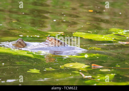 Common European carp (Cyprinus carpio) spawning violent during Springtime breeding season. Males pushing female to release their eggs and fertilize th - Stock Image