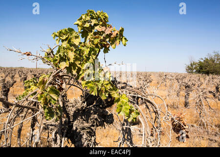 Dead and dying grape vines in Bakersfield, California, USA. Following an unprecedented four year long drought, Bakersfield - Stock Image