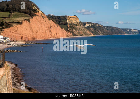 A seagull flies over the sea and red sandstone cliffs at Sidmouth, Devon, UK - Stock Image