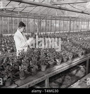 1950s, historical, market gardner or worker in a nursery checking a planted pot in a greenhouse, England, UK. - Stock Image
