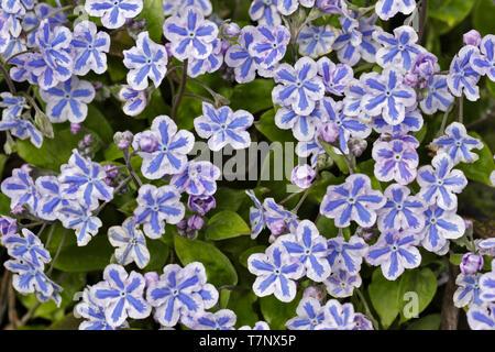 Lithodora Diffusa Blue Star - Stock Image