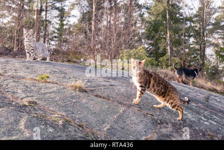 Group of family pets consisting of two Bengal cats and a Chihuahua having their first joint spring outing outdoors - Stock Image