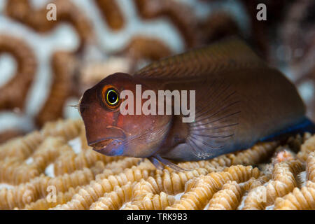 Yellowtail Blenny, Ecsenius namiyei, Lissenung, New Ireland, Papua New Guinea - Stock Image