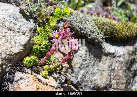 Common houseleek (Sempervivum tectorum or Sempervivum alpinum) flowering at 2000m altitude on rocky ground in the - Stock Image