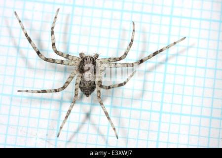 Lichen Running-spider (Philodromus margaritatus ), part of the family Philodromidae - Running crab spiders. Measured - Stock Image