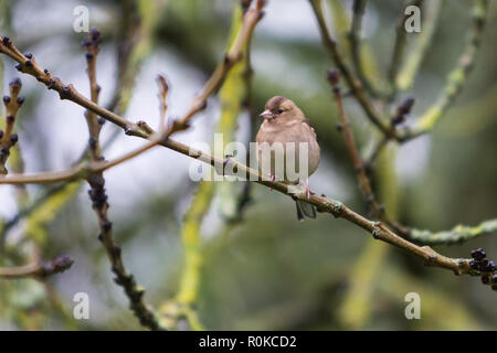 Chaffinch (Fringilla coelebs) - female, sitting on a branch looking to the side - Stock Image