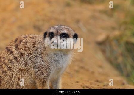 Portrait of a Meerkat - Suricatta suricates - Stock Image
