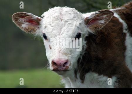 calf face - Stock Image
