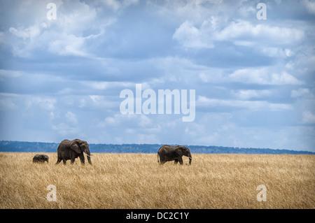 Three African Elephants, Cow with Calf, Loxodonta africana, Masai Mara National Reserve, Kenya, Africa - Stock Image