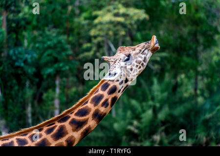 The Rothschild's giraffe making a funny face - Stock Image