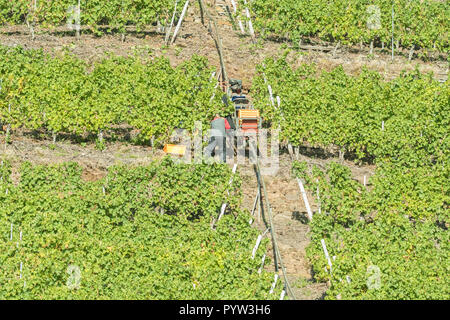 Monorackbahn monorail or rack railway lifting crates and grapes on the very steep slopes of a Moselle valley vineyard during harvesting, Germany - Stock Image
