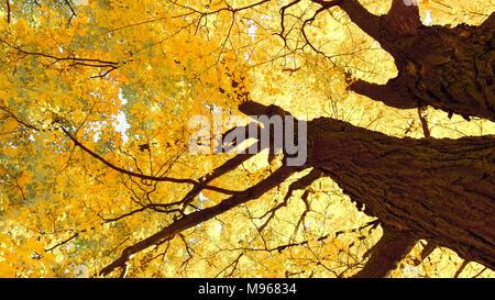 autumn maple trees closeup in autumn city park - Stock Image