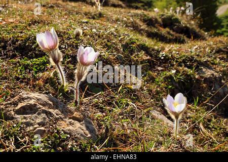 Spring Pasque Flower (Pulsatilla vernalis), - Stock Image