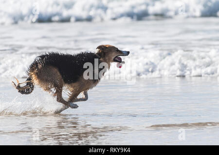 A dog running along the shoreline with his long tongue hanging out. - Stock Image