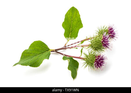 Burdock flowers isolated on a white background - Stock Image