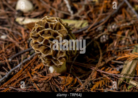 A true Morel Mushroom (Genus Morchella) an edible fungi found growing on the forest floor. - Stock Image