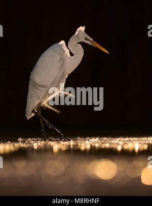 A Great Egret (Ardea alba) hunting at night in Kiskunsagi National Park, hungary - Stock Image