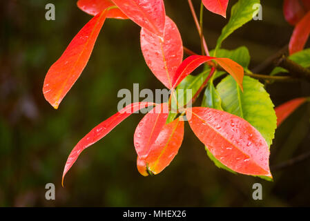 Colourful leaves of the Photinia Robusta plant against a dark background - Stock Image