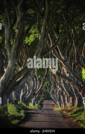 Early morning sunlight in beech alley The Dark Hedges, County Antrim in Northern Ireland. - Stock Image