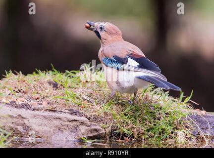 Jay  Garrulus Glandarius in a woodlans setting with a peanut in it`s beak. England UK - Stock Image