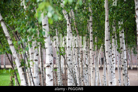 Silver birch trees on Southbank, outside of the Tate Modern, London, England. - Stock Image