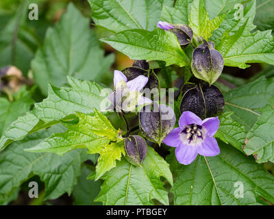 Inflated dark buds and blue flower of the hardy annual 'Apple of Peru, Nicandra physalodes - Stock Image