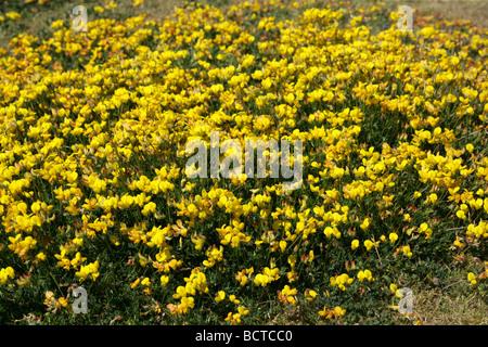 Birdsfoot Trefoil, Lotus corniculatus, Fabaceae - Stock Image