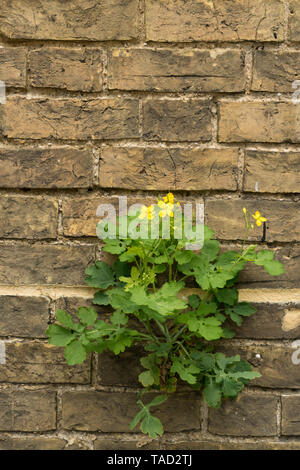 Greater Celandine growing in wall - Stock Image
