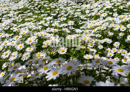 Field of ox-eye daisy (Leucanthemum vulgare) flowers filling the whole frame. - Stock Image