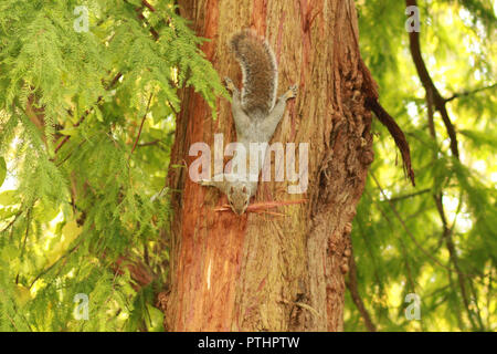 Squirrel peeling bark off a tree to make it's nest. Sciurus carolinensis - Stock Image