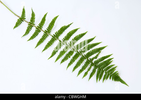 Male Fern (Dryopteris filix-mas), frond, studio picture. - Stock Image