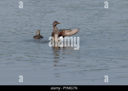 Gadwall duck (Anas strepera) stretching wings after preening - Stock Image