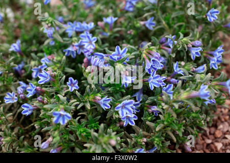 Lithodora 'Star' close up of flower - Stock Image