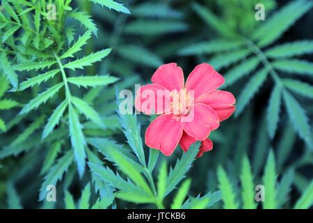 Red marigold flower (tagetes) in Jardin des Plantes off Boulevard du Jardin des Plantes, Amiens, France - Stock Image