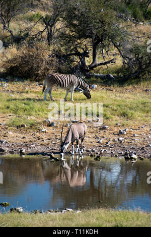 A Zebra (rear) grazes next to an Oryx drinking at a waterhole in the Etosha National Park, Namibia. - Stock Image
