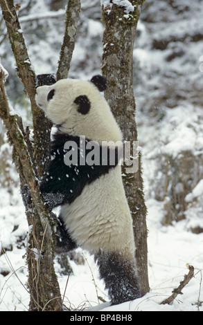 Giant panda about to climb tree in winter, Wolong, China - Stock Image