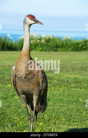 Lesser Sandhill Crane, Grus canadensis canadensis, Homer, Alaska, USA - Stock Image