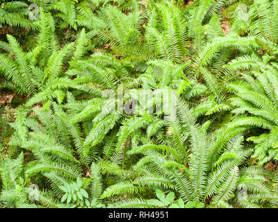 Forest Floor Ferns: A cluster of bright green ferns and other understory plants in a temperate coastal rain forest. - Stock Image