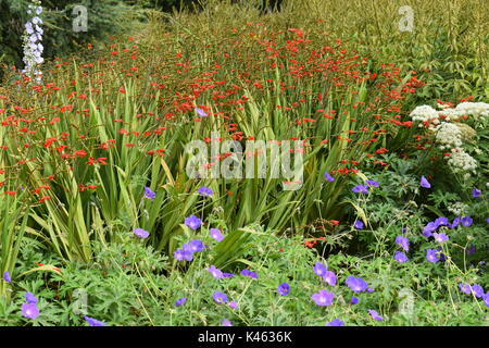 Herbaceous border in London with blue hardy geranium, orange crocosmia, delphinium and Queen Anne's Lace. - Stock Image