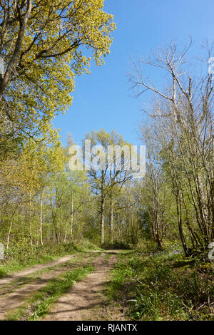 Woodland path through Brede High Woods in spring, East Sussex, UK - Stock Image