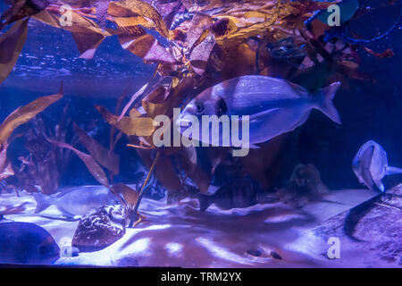 A fish in a tank in an aquarium - Stock Image