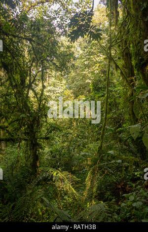 tall trees and dense vegetation in Bwindi Impenetrable Forest, Uganda, Africa - Stock Image