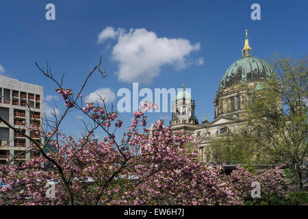 Cherry Blossom, Berlin dome, Cathedral, Berlin City Castle, Stadtschloss, Berlin Mitte - Stock Image