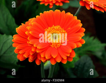 Gerbera 'Springtime' close up of flower - Stock Image