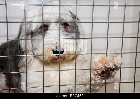Old English Sheepdog in Kennel at Veterinary Clinic - Stock Image
