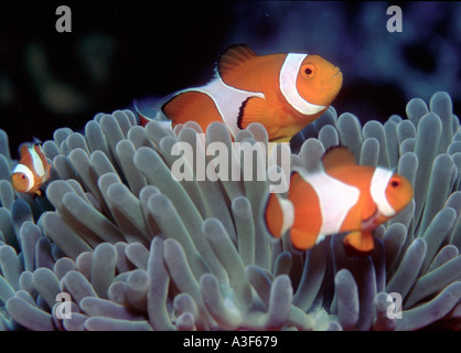 underwater, clownfishes in an anemone - Stock Image