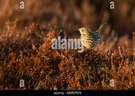 Meadow pipit, Latin name Anthus pratensis, perched on a broom shrub in warm early morning light - Stock Image
