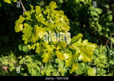 Oak leaves cluster - Stock Image