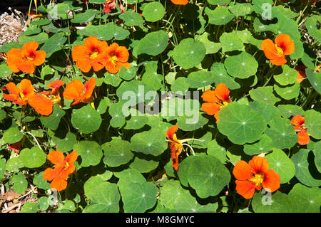 Garden nasturtium flowers, Tropaeolum majus, Melbourne, Australia - Stock Image