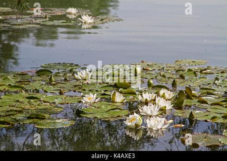 Water Lily Pond In The Danube Park In Regensburg - Stock Image
